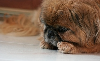 brown cute pekingese dog