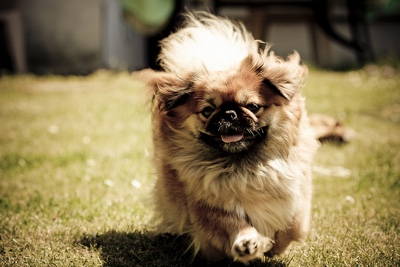 pekingese dog face coat fur legs